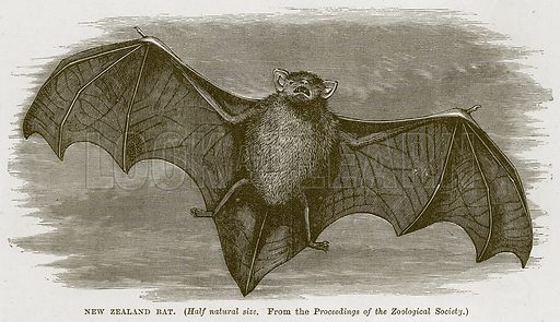 New Zealand Bat. Illustration from Cassell's Natural History (Cassell, 1883).