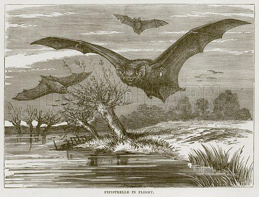 Pipistrelle in Flight. Illustration from Cassell's Natural History (Cassell, 1883).