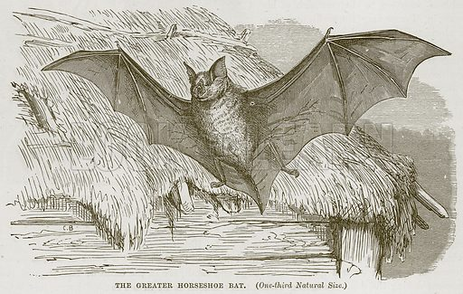 The Greater Horseshoe Bat. Illustration from Cassell's Natural History (Cassell, 1883).