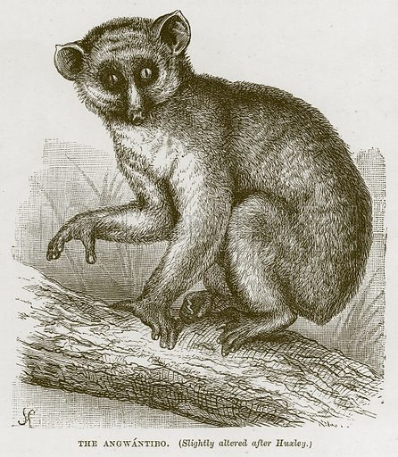 The Angwantibo. Illustration from Cassell's Natural History (Cassell, 1883).