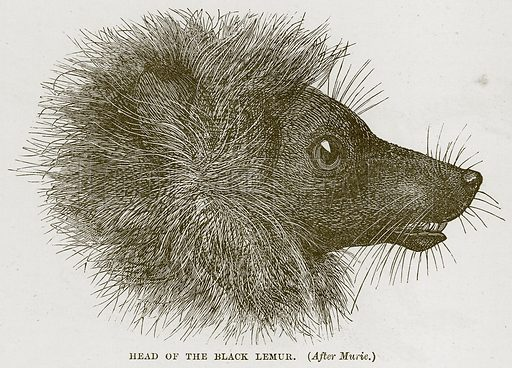 Head of the Black Lemur. Illustration from Cassell's Natural History (Cassell, 1883).