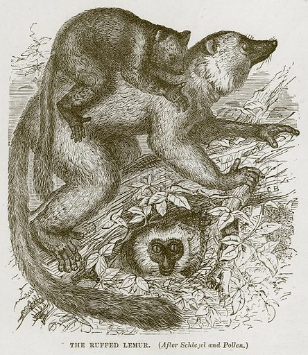 The Ruffed Lemur. Illustration from Cassell's Natural History (Cassell, 1883).