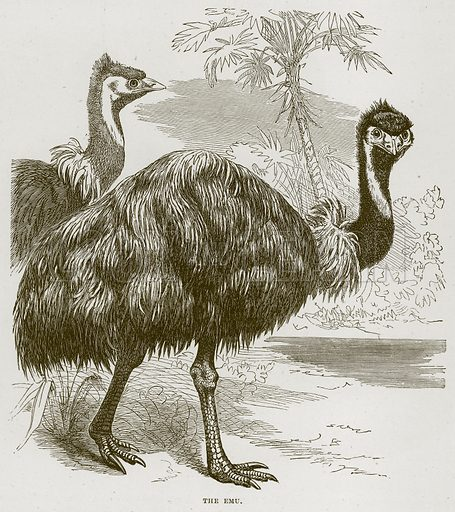 The Emu. Illustration from Cassell's Natural History (Cassell, 1883).