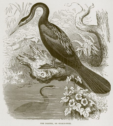 The Darter, or Snake-Neck. Illustration from Cassell's Natural History (Cassell, 1883).