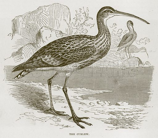 The Curlew. Illustration from Cassell's Natural History (Cassell, 1883).