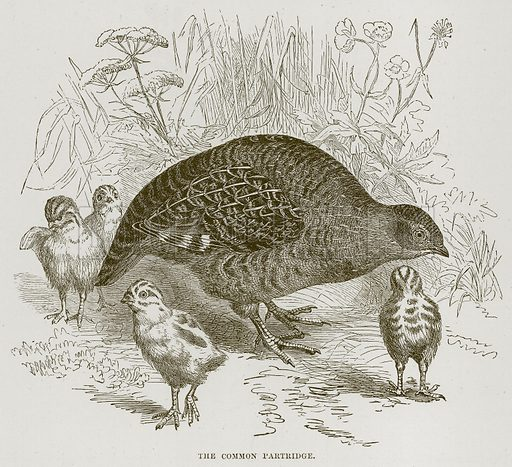 The Common Partridge. Illustration from Cassell's Natural History (Cassell, 1883).