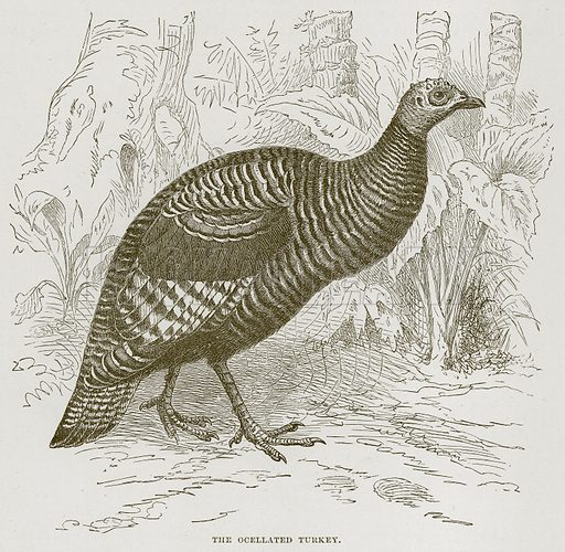 The Ocellated Turkey. Illustration from Cassell's Natural History (Cassell, 1883).