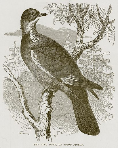 The Ring Dove, or Wood Pigeon. Illustration from Cassell's Natural History (Cassell, 1883).