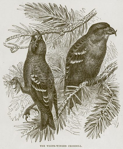 The White-Winged Crossbill. Illustration from Cassell's Natural History (Cassell, 1883).