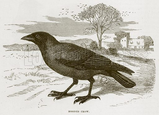 Hooded Crow. Illustration from Cassell's Natural History (Cassell, 1883).