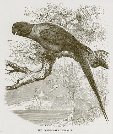 The Rose-Ringed Parrakeet. Illustration from Cassell's Natural History (Cassell, 1883).