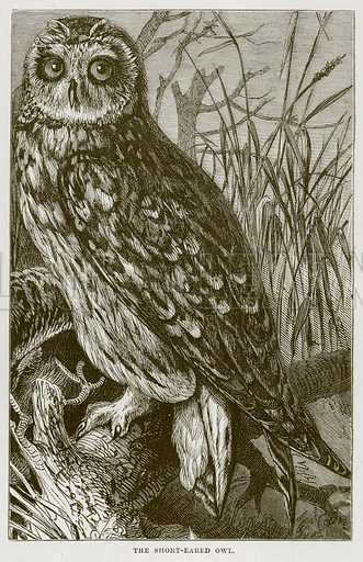 The Short-Eared Owl. Illustration from Cassell's Natural History (Cassell, 1883).