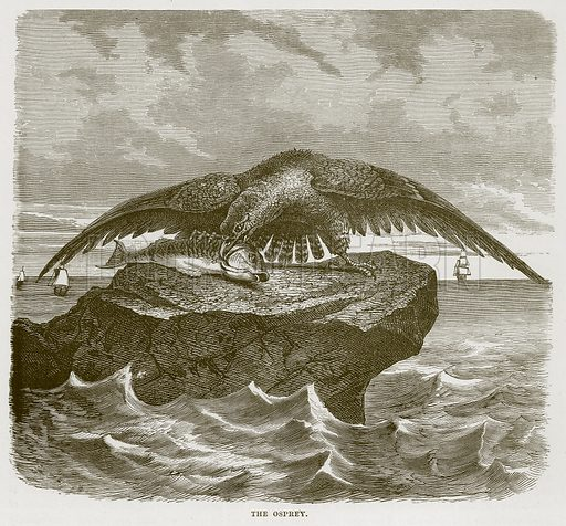 The Osprey. Illustration from Cassell's Natural History (Cassell, 1883).