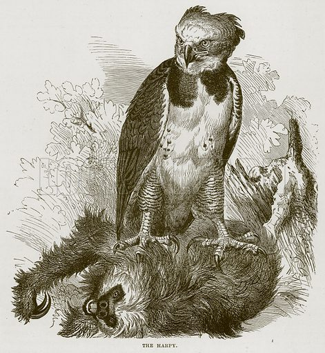 The Harpy. Illustration from Cassell's Natural History (Cassell, 1883).