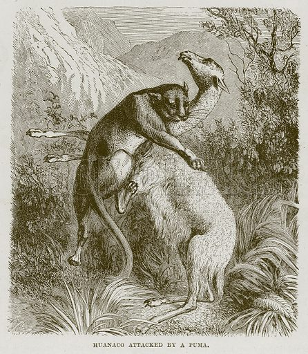 Huanaco attacked by a Puma. Illustration from Cassell's Natural History (Cassell, 1883).