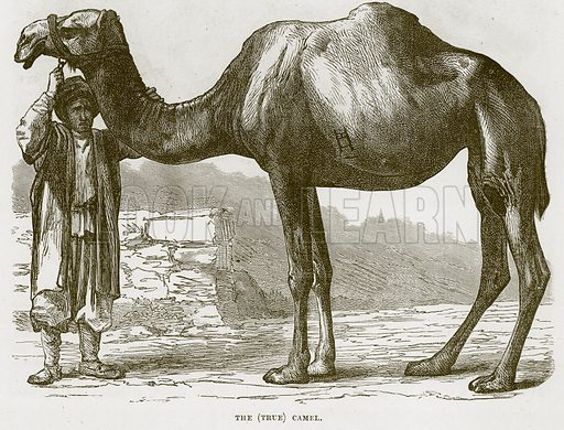The (True) Camel. Illustration from Cassell's Natural History (Cassell, 1883).
