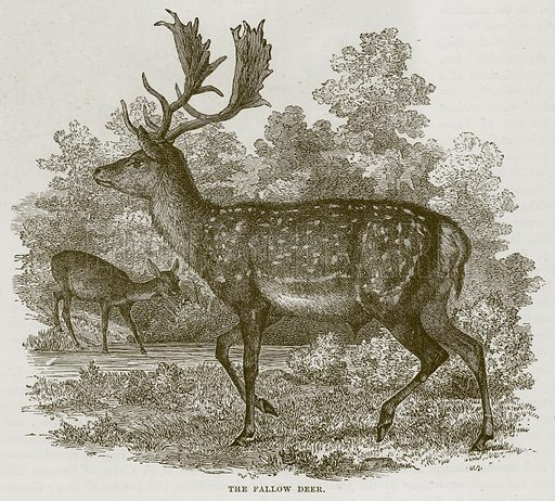 The Fallow Deer. Illustration from Cassell's Natural History (Cassell, 1883).
