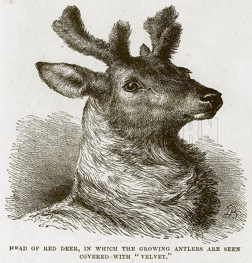 "Head of Red Deer, in which the Growing Antlers are seen covered with ""Velvet."" Illustration from Cassell's Natural History (Cassell, 1883)."