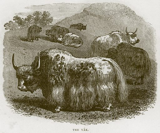 The Yak. Illustration from Cassell's Natural History (Cassell, 1883).