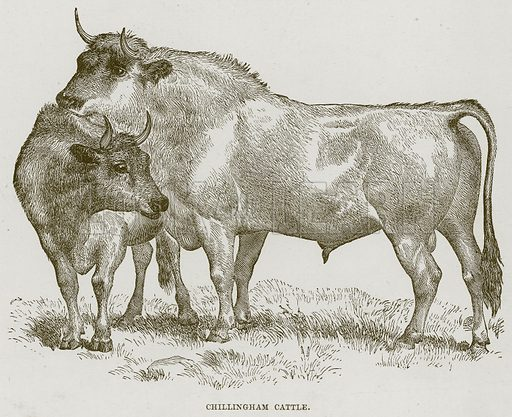 Chillingham Cattle. Illustration from Cassell's Natural History (Cassell, 1883).