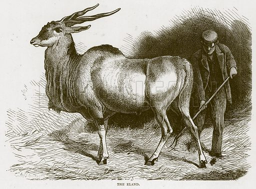 The Eland. Illustration from Cassell's Natural History (Cassell, 1883).