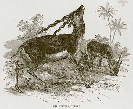 The Indian Antelope. Illustration from Cassell's Natural History (Cassell, 1883).