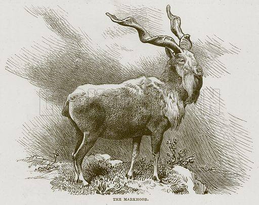 The Markhoor. Illustration from Cassell's Natural History (Cassell, 1883).
