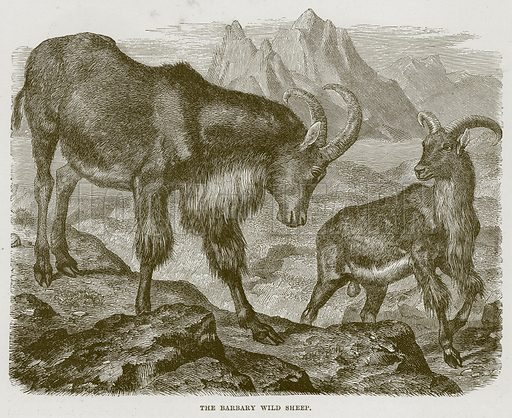 The Barbary Wild Sheep. Illustration from Cassell's Natural History (Cassell, 1883).