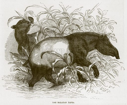 The Malayan Tapir. Illustration from Cassell's Natural History (Cassell, 1883).