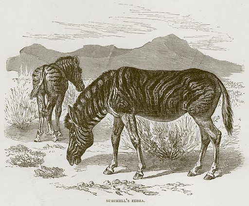 Burchell's Zebra. Illustration from Cassell's Natural History (Cassell, 1883).