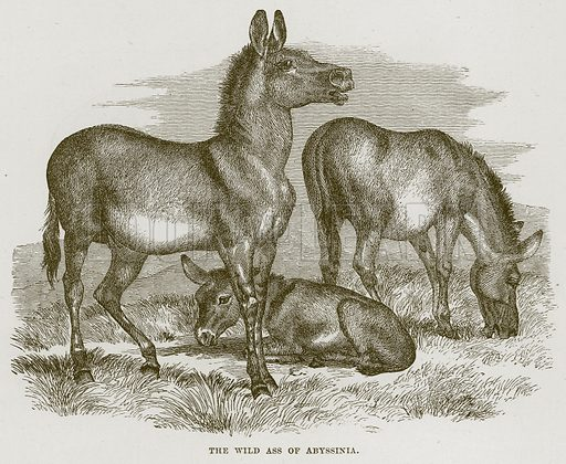 The Wild Ass of Abyssinia. Illustration from Cassell's Natural History (Cassell, 1883).