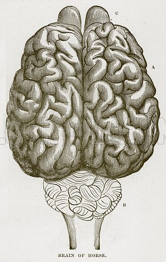 Brain of Horse. Illustration from Cassell's Natural History (Cassell, 1883).