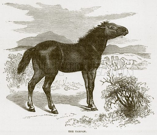 The Tarpan. Illustration from Cassell's Natural History (Cassell, 1883).