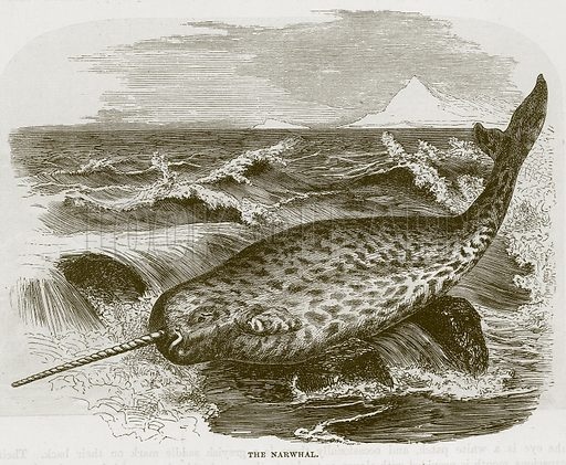 The Narwhal. Illustration from Cassell's Natural History (Cassell, 1883).