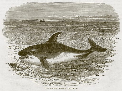 The Killer Whale, or Orca. Illustration from Cassell's Natural History (Cassell, 1883).