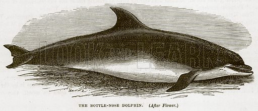 The Bottle-Nose Dolphin. Illustration from Cassell's Natural History (Cassell, 1883).