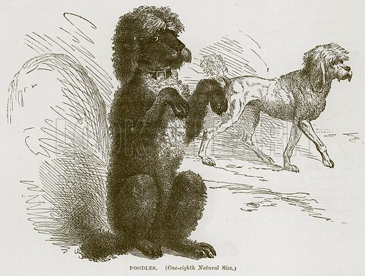 Poodles. Illustration from Cassell's Natural History (Cassell, 1883).