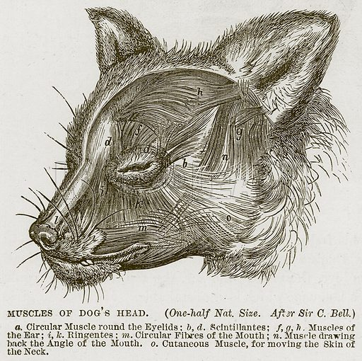 Muscles of Dog's Head. a. Circular Muscle Round the Eyelids; b, d. Scintillantes; f, g, h. Muscles of the Ear; i, k. Ringentes; m. Circular Fibres of the Mouth; n. Muscle Drawing Back the Angle of the Mouth. o. Cutaneous Muscle, for moving the Skin of the Neck. Illustration from Cassell's Natural History (Cassell, 1883).