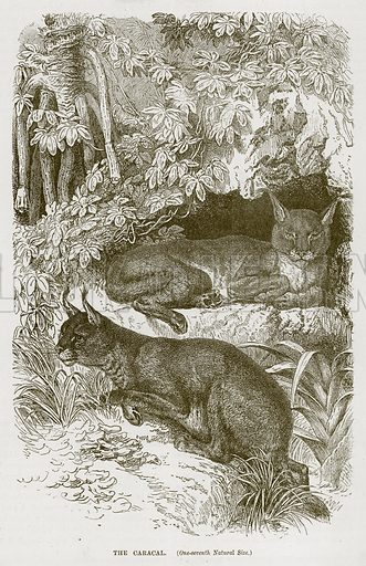 The Caracal. Illustration from Cassell's Natural History (Cassell, 1883).