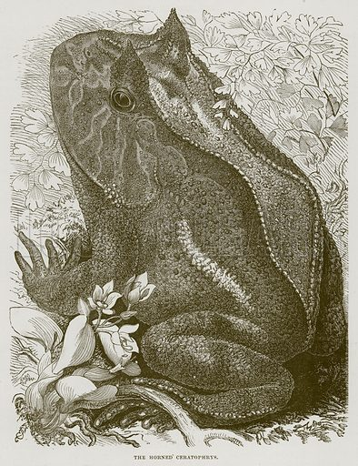 The Horned Ceratophrys. Illustration from Cassell's Natural History (Cassell, 1883).