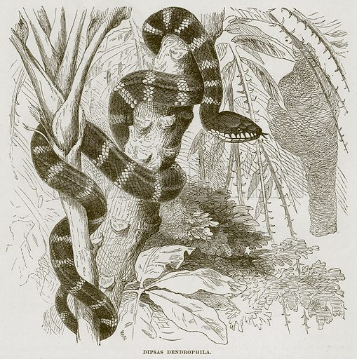 Dipsas Dendrophila. Illustration from Cassell's Natural History (Cassell, 1883).