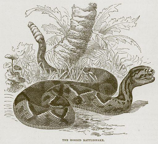 The Horrid Rattlesnake. Illustration from Cassell's Natural History (Cassell, 1883).