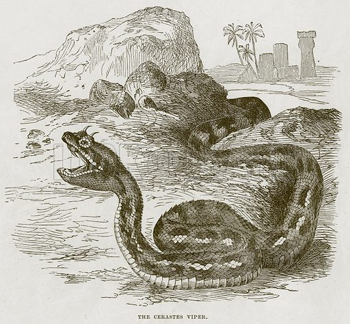 The Cerastes Viper. Illustration from Cassell's Natural History (Cassell, 1883).