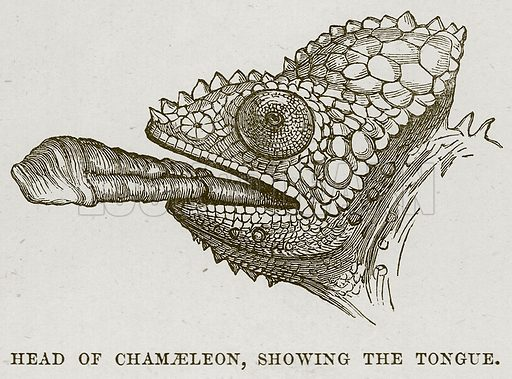 Head of Chamaeleon, showing the Tongue. Illustration from Cassell's Natural History (Cassell, 1883).