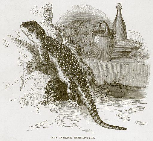 The Turkish Hemidactyle. Illustration from Cassell's Natural History (Cassell, 1883).