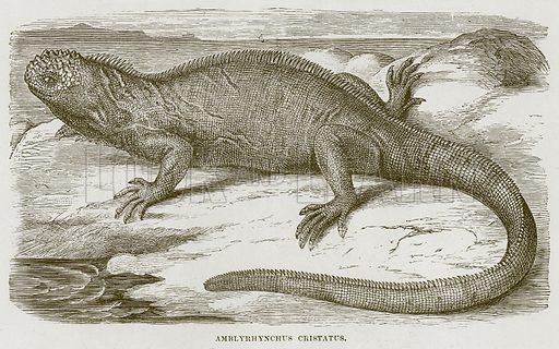 Amblyrhynchus Cristatus. Illustration from Cassell's Natural History (Cassell, 1883).