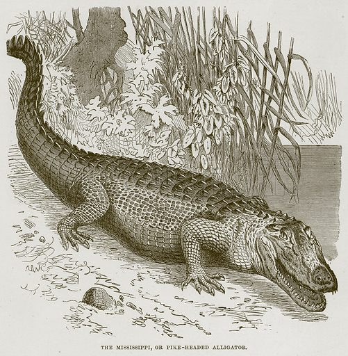 The Mississippi, or Pike-Headed Alligator. Illustration from Cassell's Natural History (Cassell, 1883).