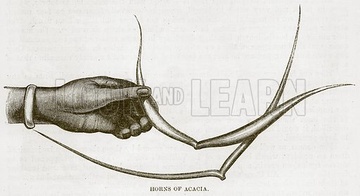Horns of Acacia. Illustration for The Natural History of Man by JG Wood (George Routledge, 1868).