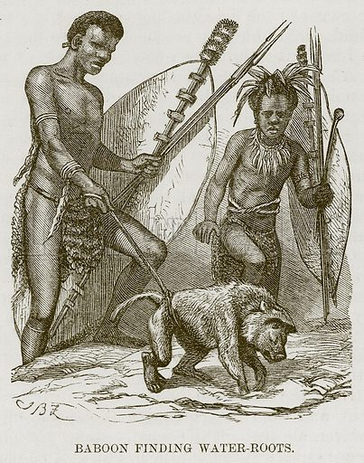 Baboon finding Water-Roots. Illustration for The Natural History of Man by JG Wood (George Routledge, 1868).