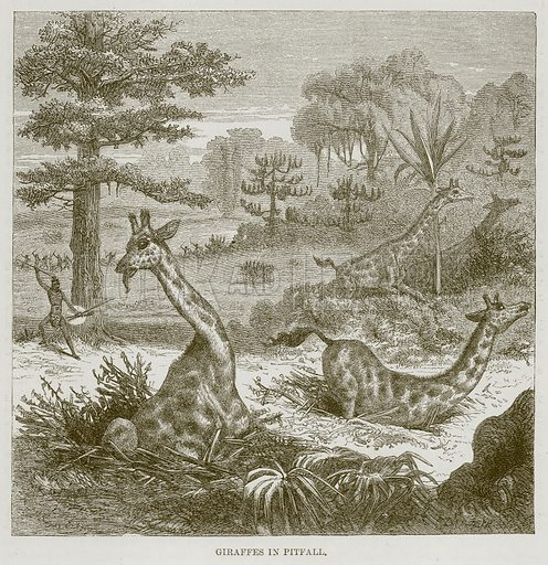 Giraffes in Pitfall. Illustration for The Natural History of Man by JG Wood (George Routledge, 1868).
